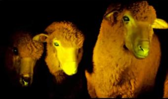 ovejas fosforescentes de uruguay