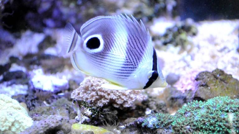 pez que simula un ojo en la cola